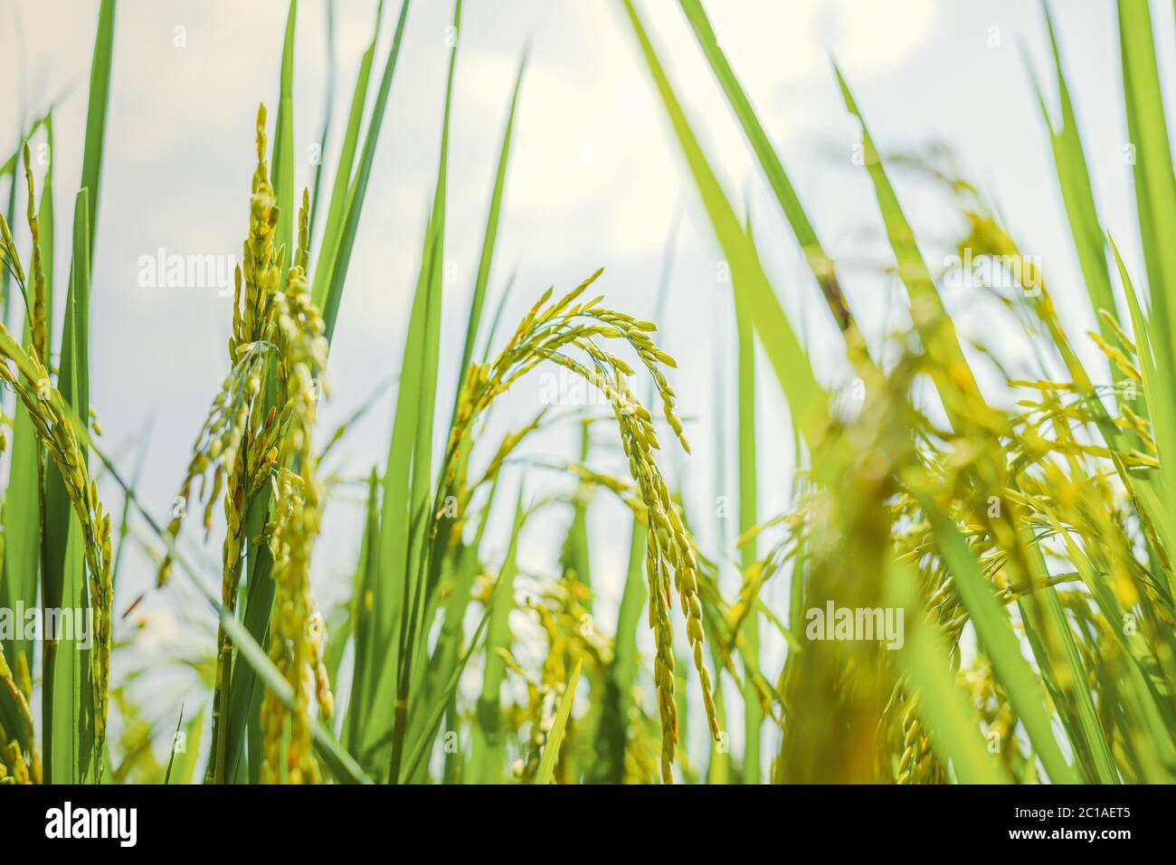 Agriculture green rice field under blue sky at contryside. farm, growth and agriculture concept. Stock Photo