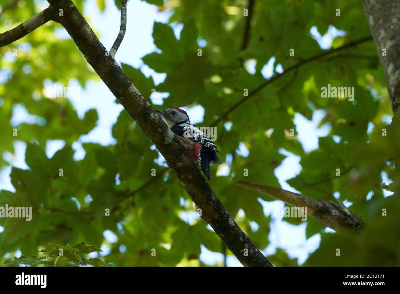 Middle spotted woodpecker Dendrocoptes medius Europe Tree Stock Photo