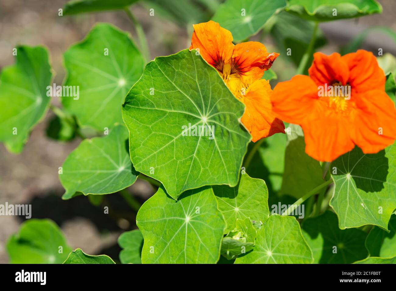 Nasturtium Leaves in Springtime Stock Photo