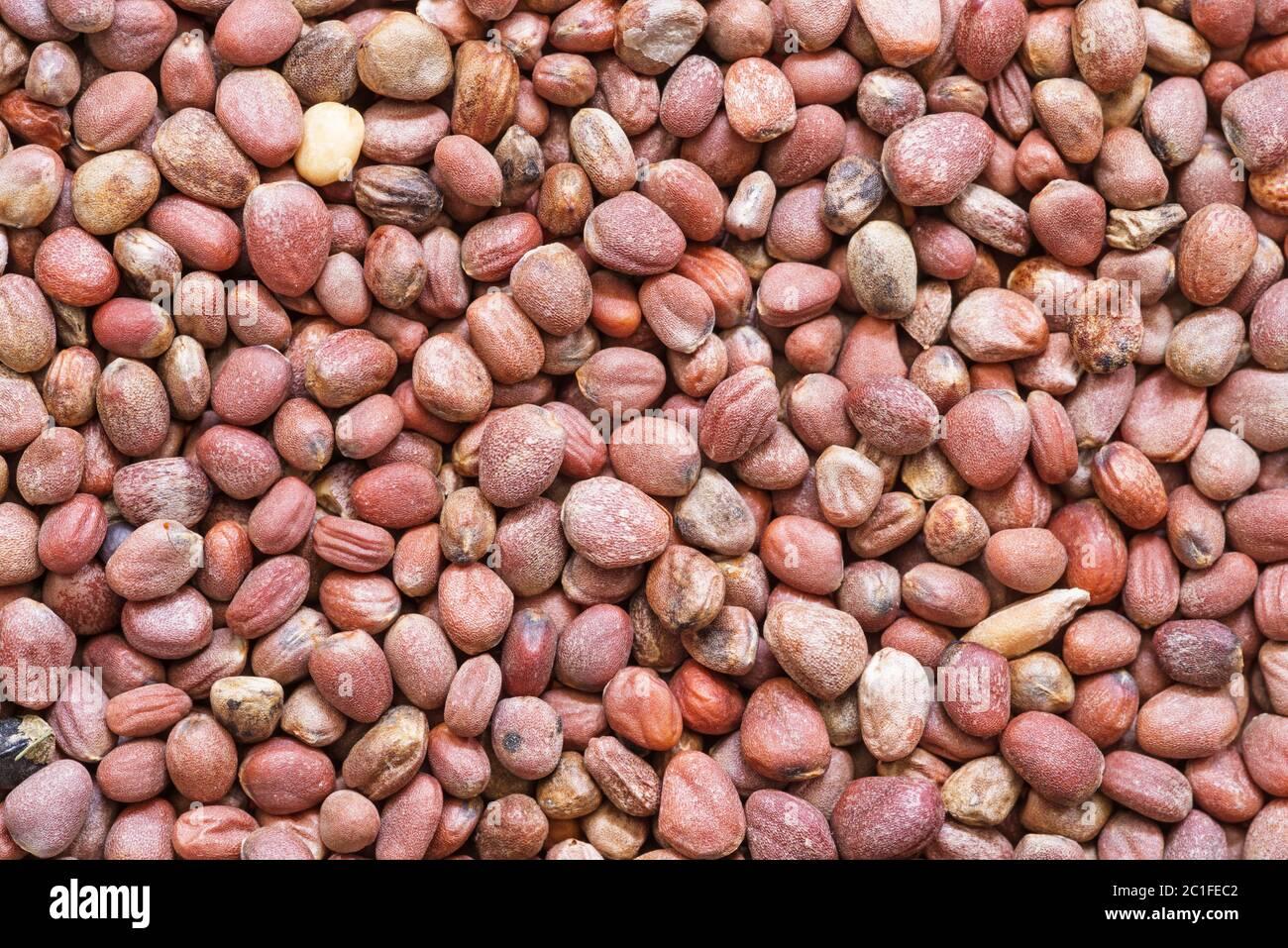 macro image of daikon or Raphanus sativus seeds Stock Photo