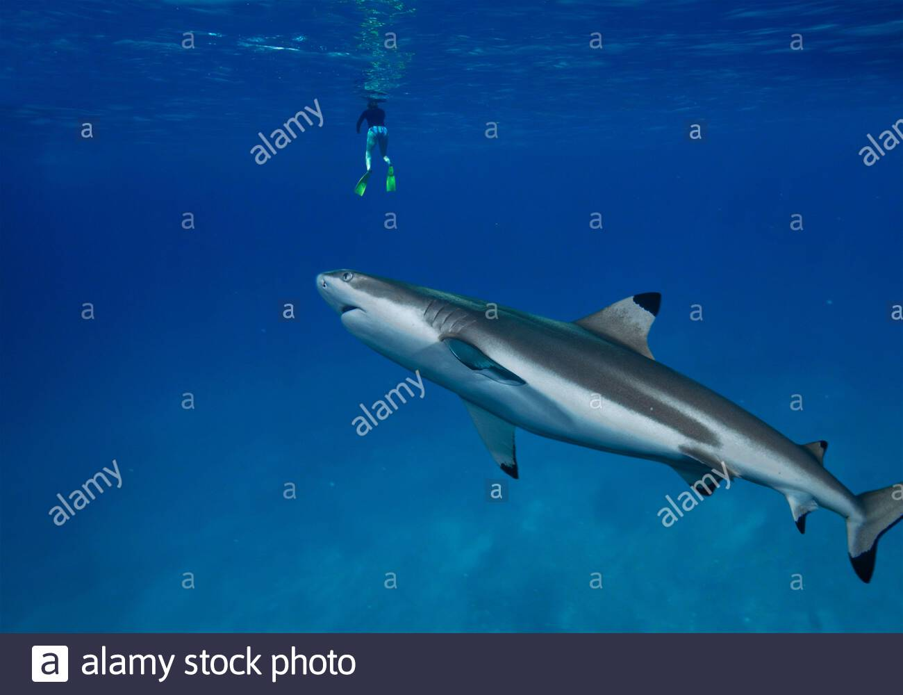 Blacktip shark approaching bather at the surface. Increasingly, people and sharks come into contact as humans spend their leisure time in the Stock Photo