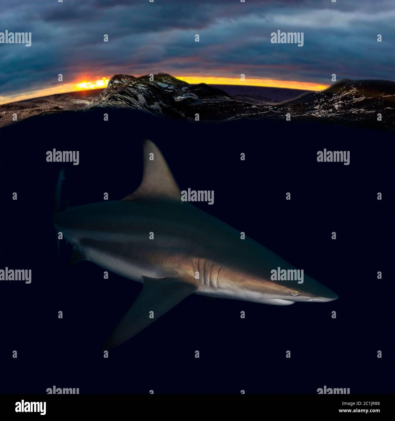 Blacktip shark, Carcharhinus limbatus, at sunset. The blacktip shark has a worldwide distribution in tropical and subtropical waters. Is an Stock Photo