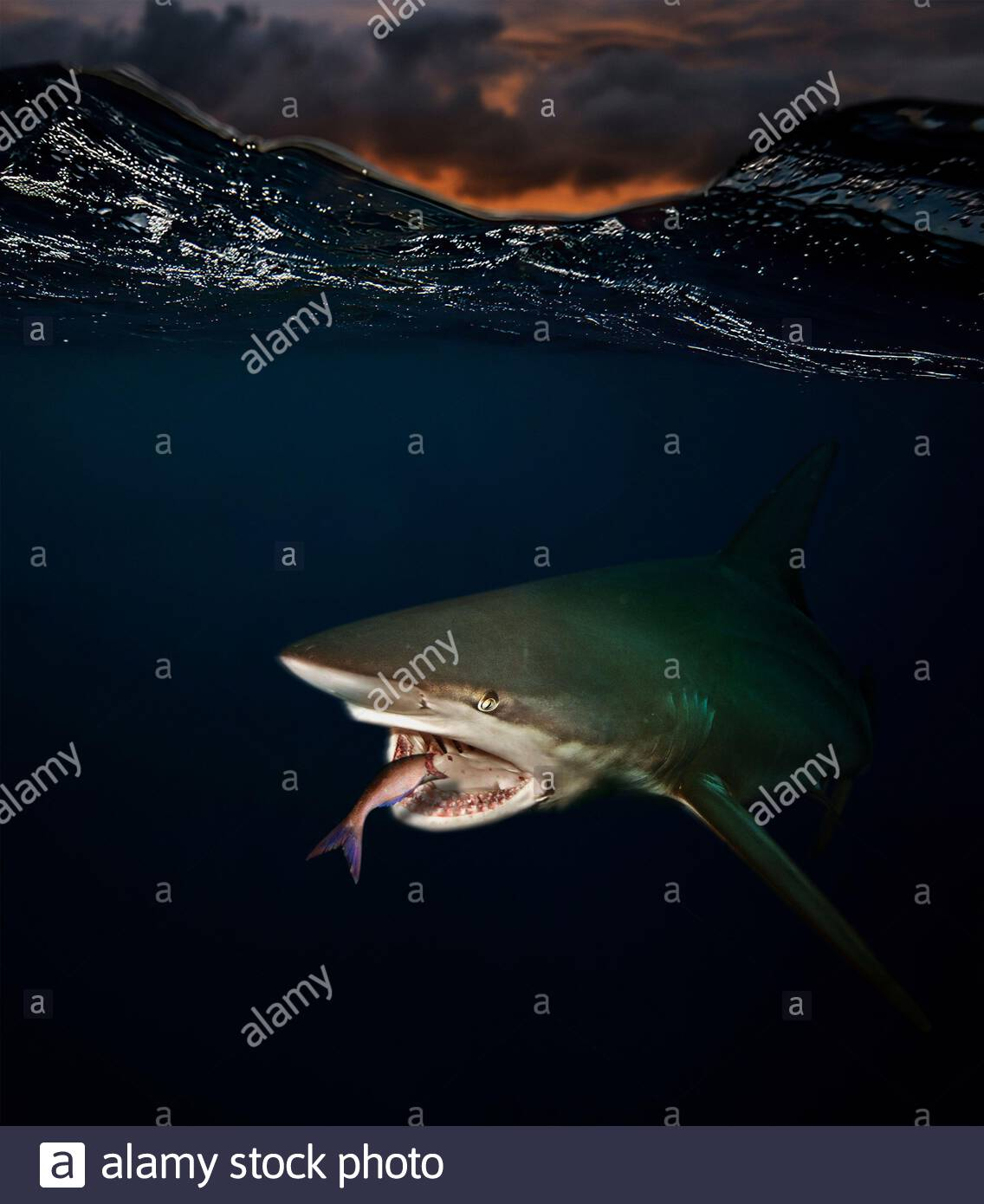 Blacktip shark, Carcharhinus limbatus, at sunset eating small fish. The blacktip shark has a worldwide distribution in tropical and subtropical Stock Photo
