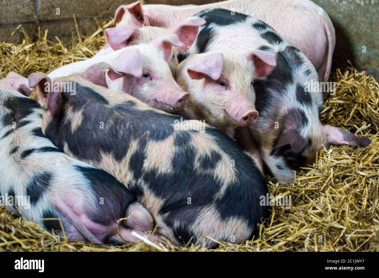 A litter of Gloucester Old Spot piglets bundled together in their sty. Berkshire farm, springtime. Stock Photo