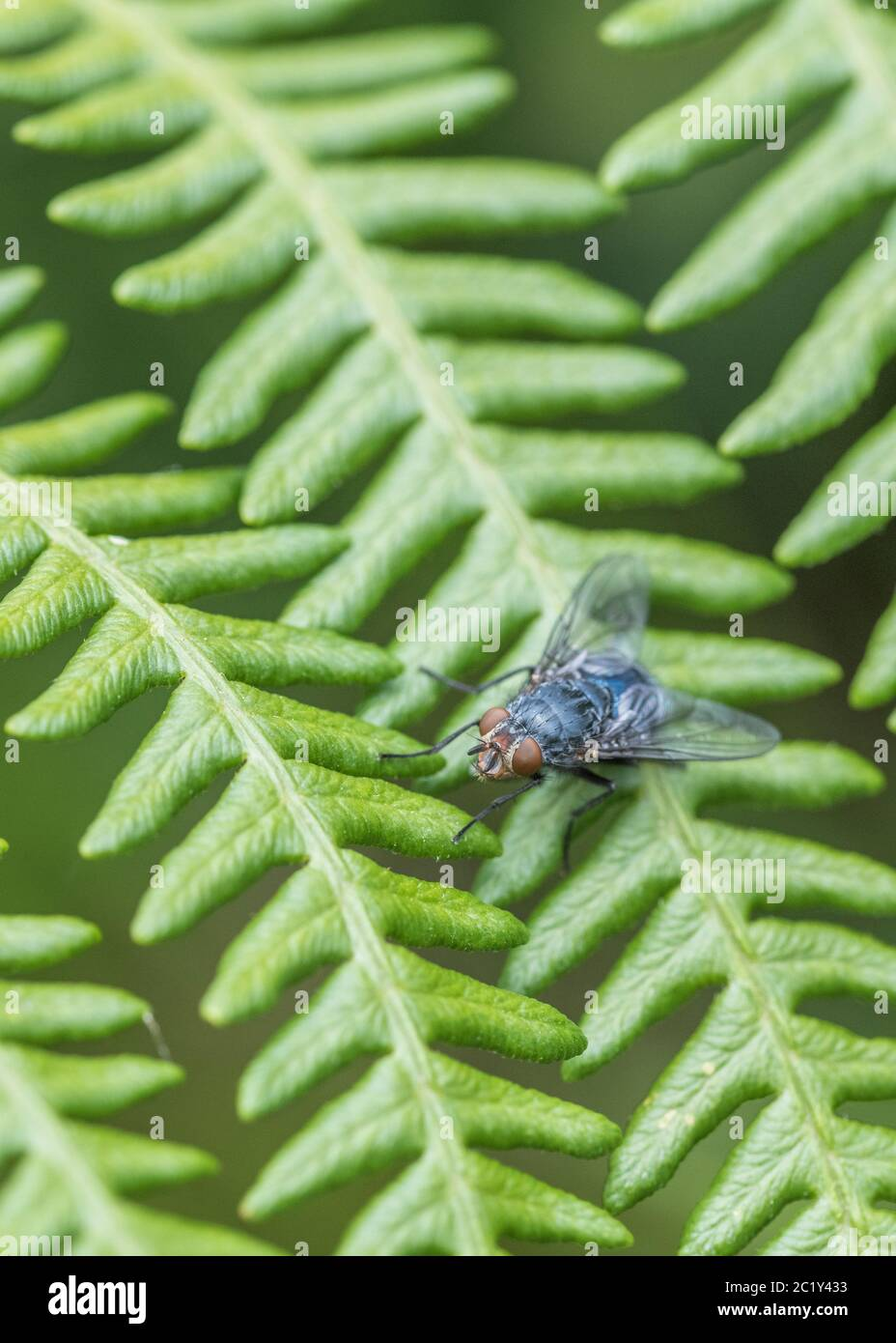 Close-shot of what is possibly common Blue Bottle / Calliphora vicina on fern leaf frond, but might be Pales pavida. Fly close up, close-up shot fly. Stock Photo