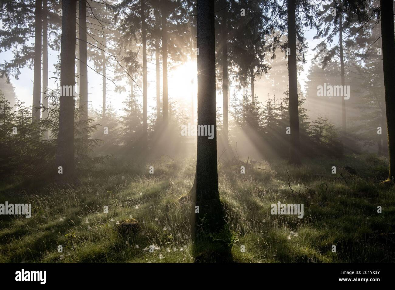 Schwithten, Deutschland. 12th June, 2020. 06/12/2020, Schwithten (Hessen): The rising sun shines through trees in the fog in the forest on the Grosser Feldberg in the Taunus. | usage worldwide Credit: dpa/Alamy Live News Stock Photo