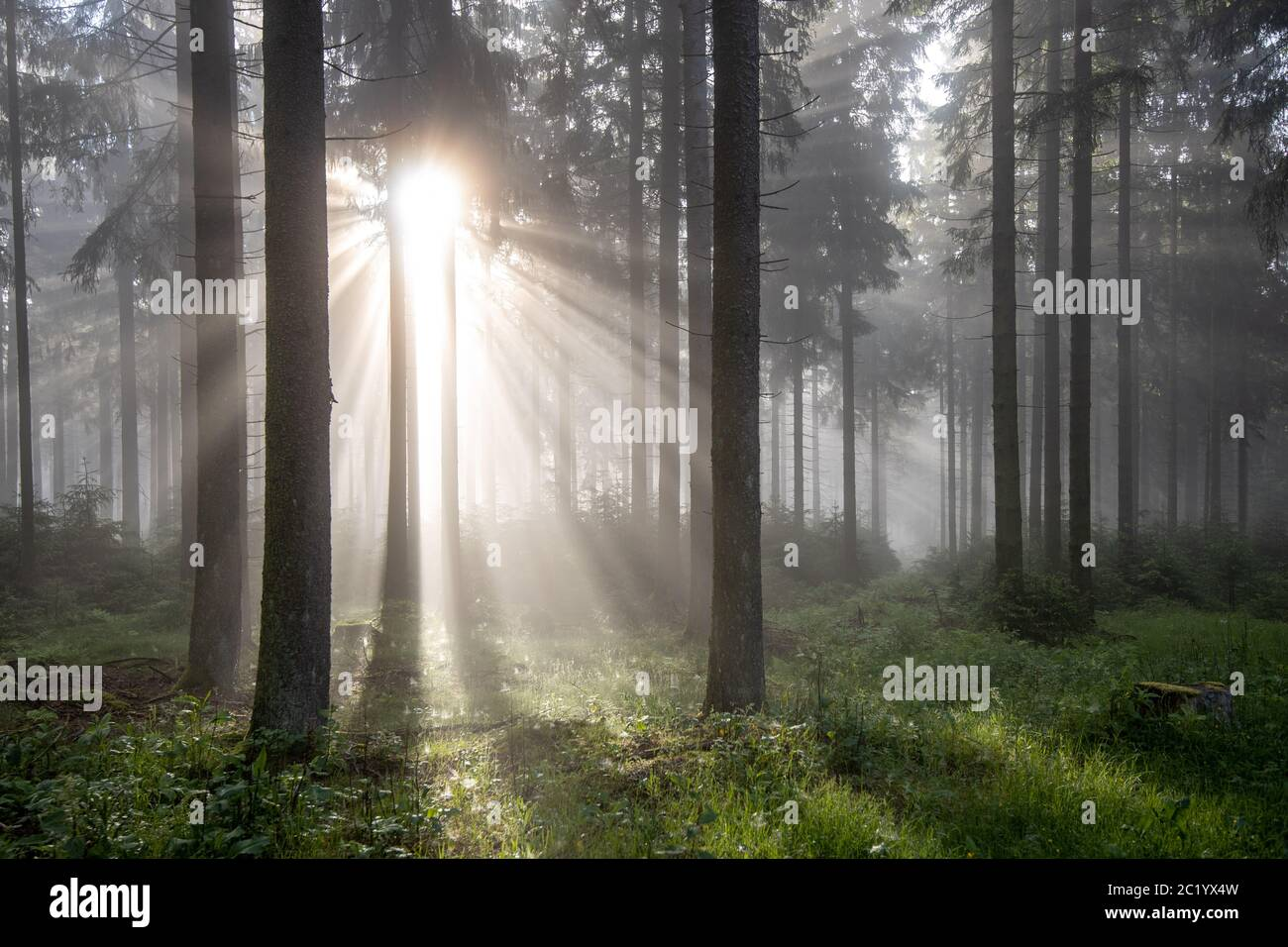 Schwithten, Deutschland. 12th June, 2020. 06/12/2020, Schwithten (Hessen): The rising sun shines through trees in the fog in the forest on the Grosser Feldberg in the Taunus.   usage worldwide Credit: dpa/Alamy Live News Stock Photo