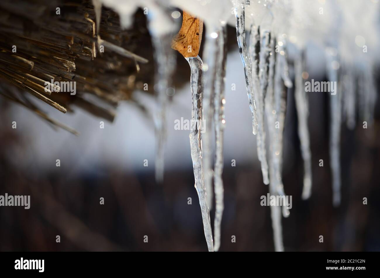 Closeup thin icicles with dried leaf melting under bright sunlight on sunny spring day in countryside Stock Photo