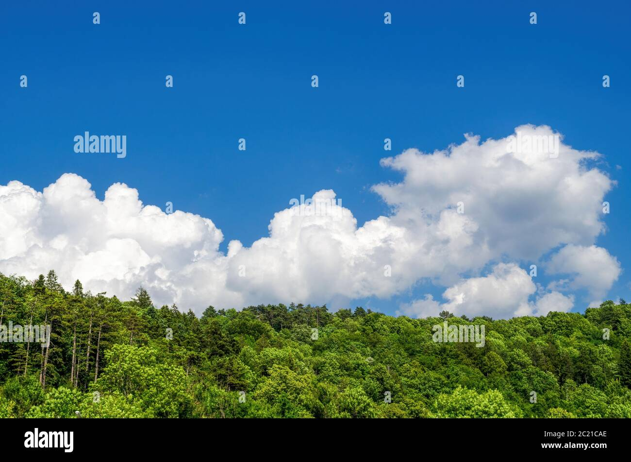 Low angle of forest with green trees growing against bright blue sky with white clouds on sunny day in nature Stock Photo
