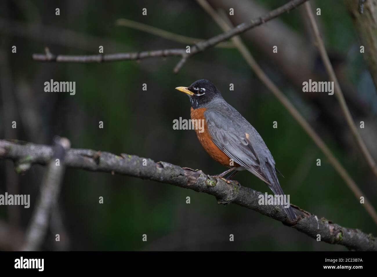 An American robin perched on a branch. The American robin is the state bird of Michigan. Stock Photo