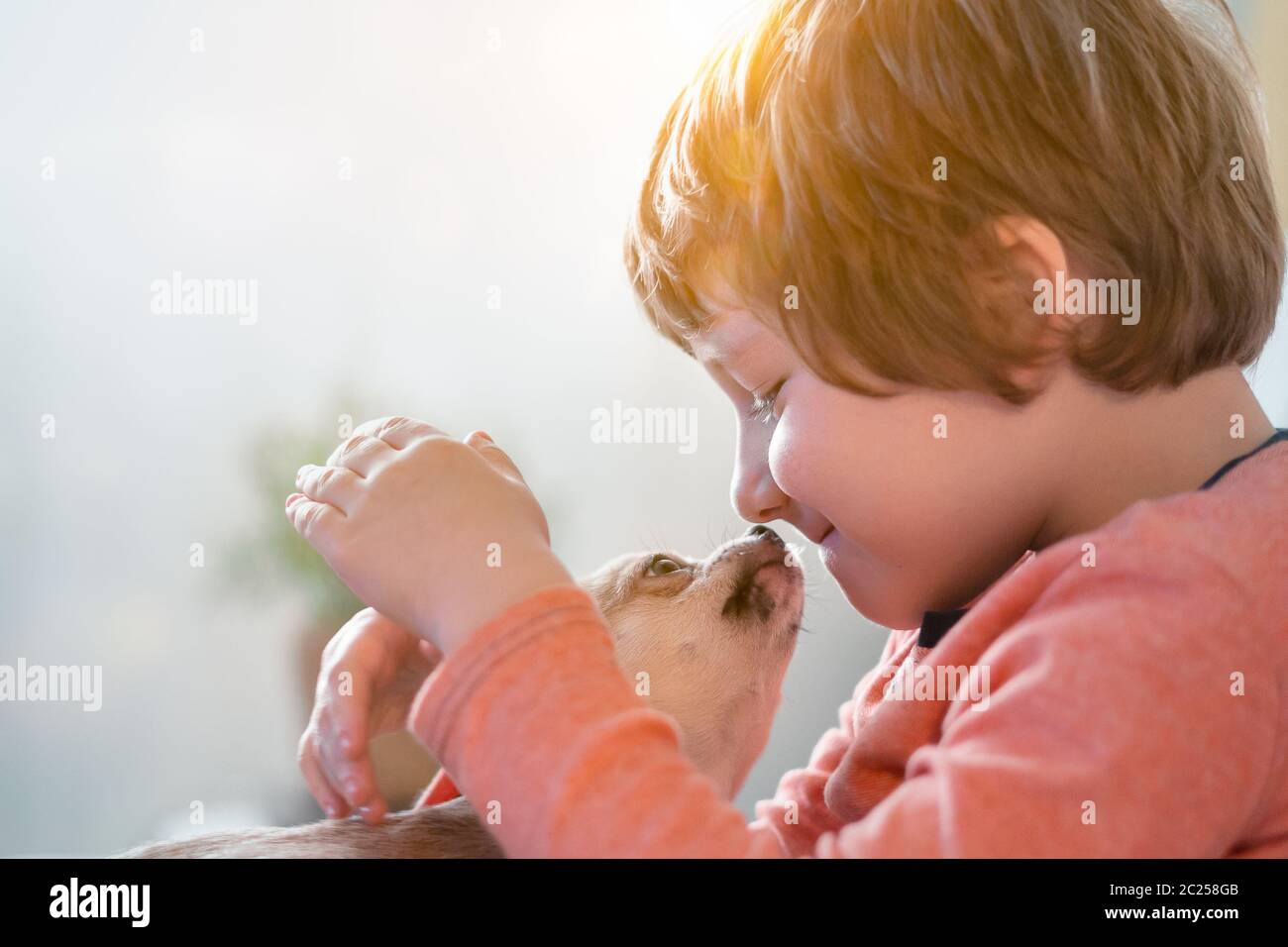 Chihuahua dog licks little laughing child's face close up. Portrait of a happy caucasian kid boy hugging a puppy at cozy home on sofa and play Stock Photo