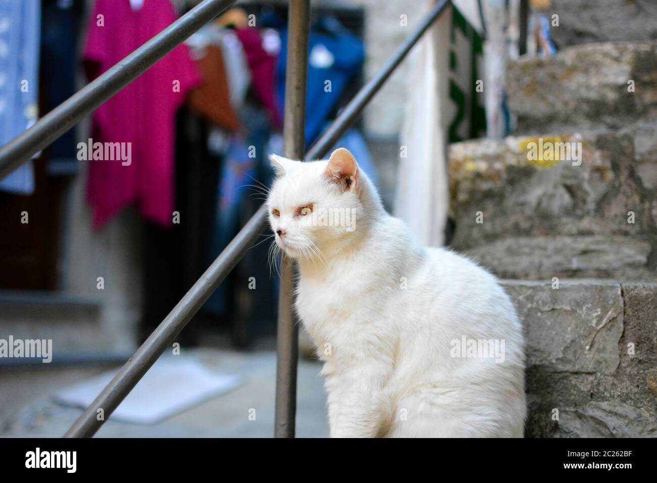 A white cat ill from cancer on his nose and around his eyes in the Italian village of Portovene. Stock Photo