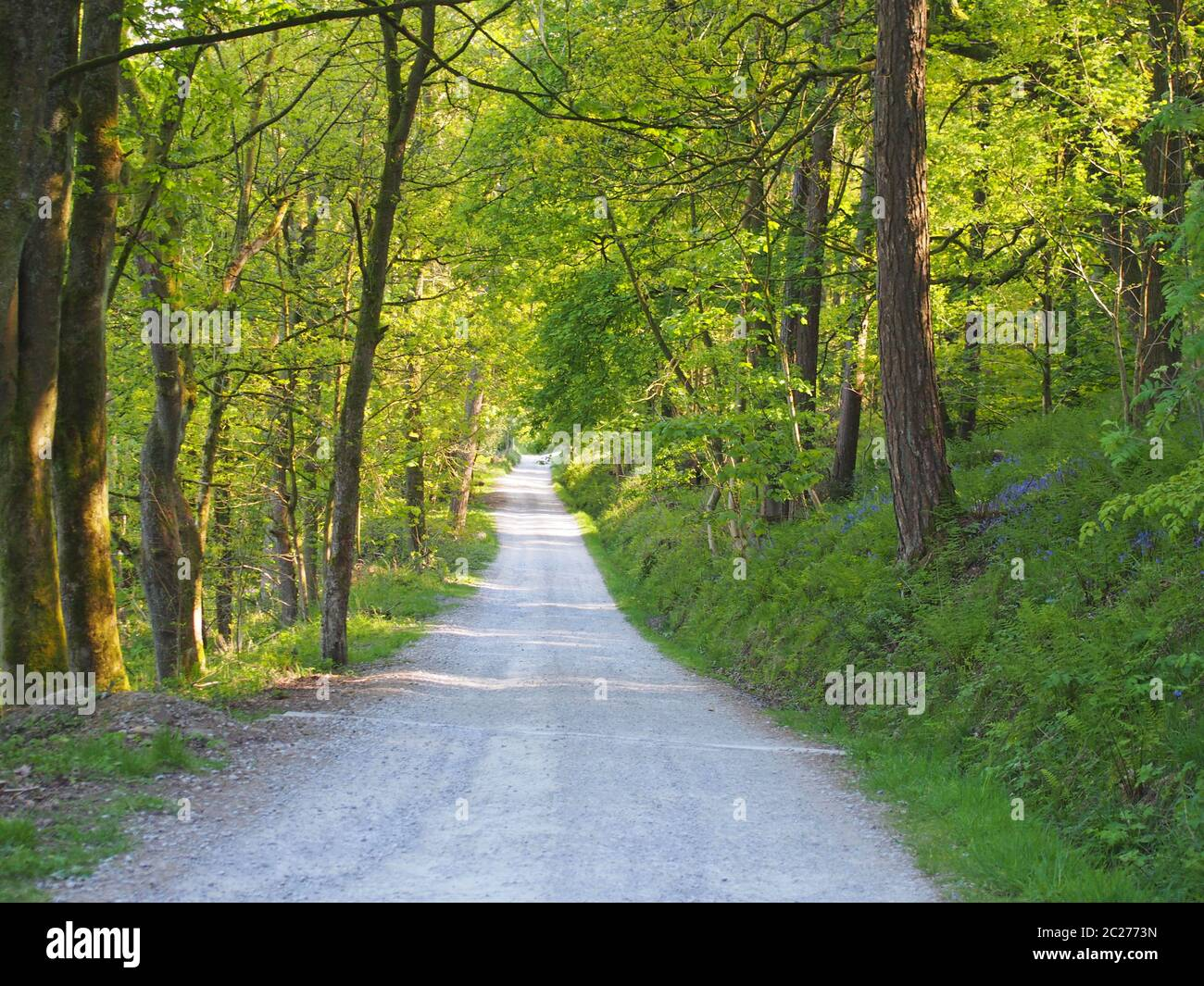 perspective view a narrow country lane running though bright sunlit spring woodland with a surrounding canopy of forest trees Stock Photo