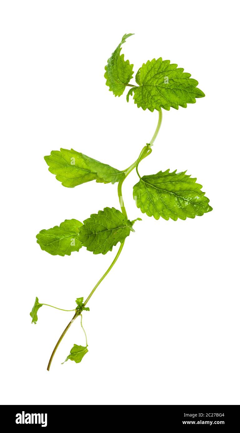green twig of lemon balm (melissa officinalis) herb isolated on white background Stock Photo