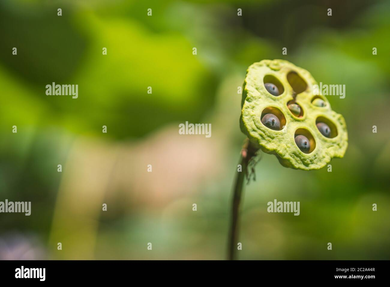 Lotus seed, lotus leaf and flower green background. Nature background Stock Photo
