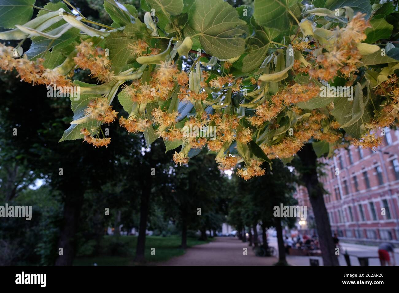 Leipzig, Germany. 16th June, 2020. Flowers of the large-leaved linden (Tilia platyphyllos) in a green area. Credit: Sebastian Willnow/dpa-Zentralbild/ZB/dpa/Alamy Live News Stock Photo