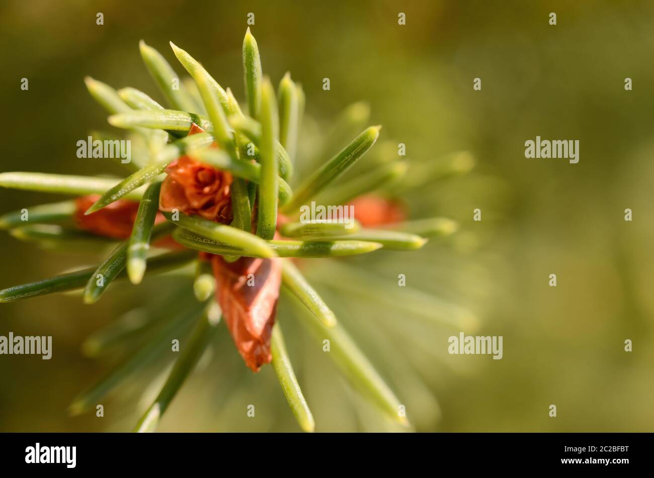 Closeup green twig of coniferous tree with tiny cones on blurred background of nature on sunny spring day Stock Photo