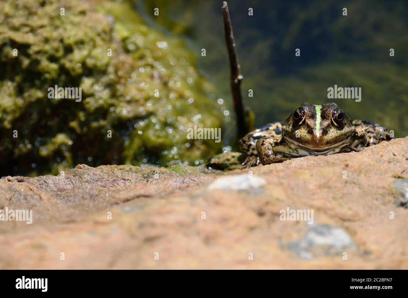 From above wild frog sitting on wet rocky coast in delta of Danube River on sunny summer day in Romania Stock Photo