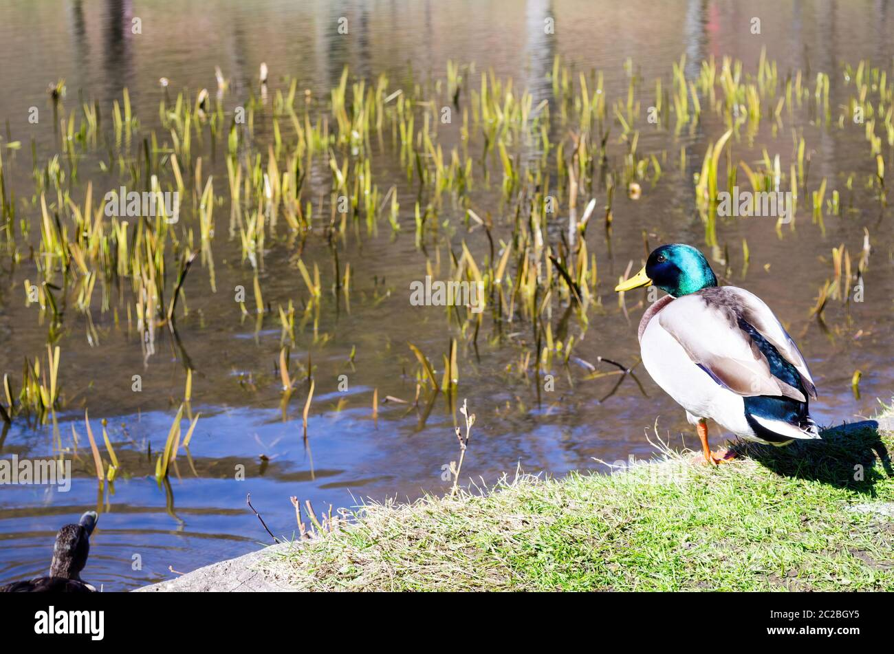 Male and female mallard ducks resting on grassy coast near calm pond water on sunny day in countryside Stock Photo
