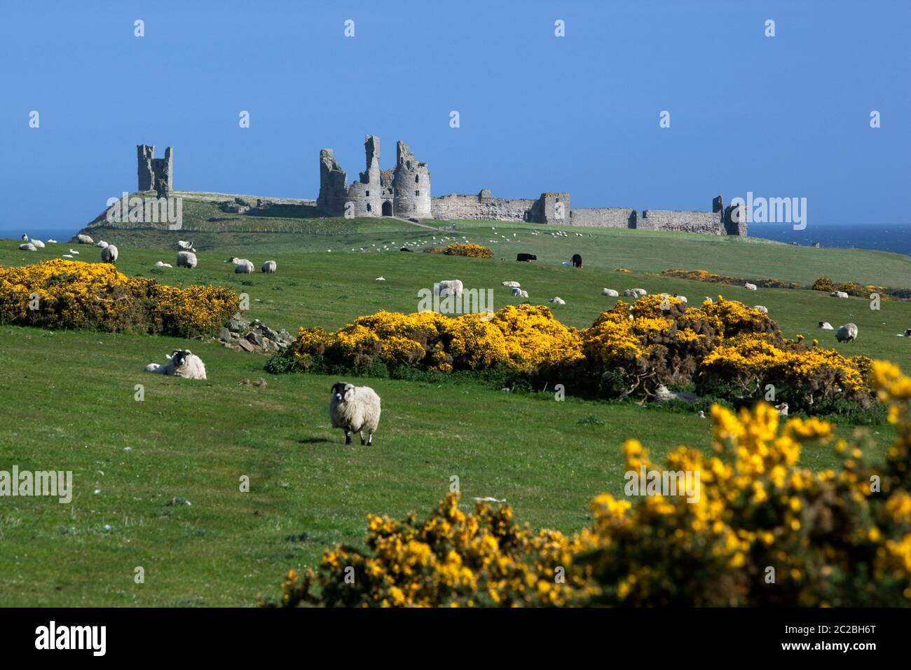 View to ruins of medieval Dunstanburgh Castle with sheep and yellow gorse in meadow, Alnwick, Northumberland, England, United Kingdom, Europe Stock Photo