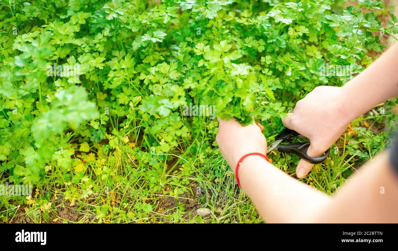 Top view of anonymous person cutting fresh parsley with scissors while working in garden on sunny day Stock Photo