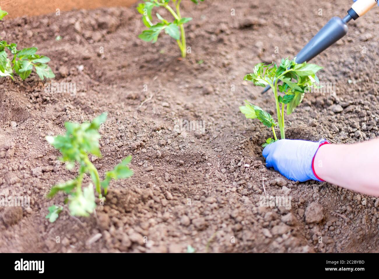 High angle of unrecognizable person in gloves putting small plant in hole in soil while working in garden Stock Photo