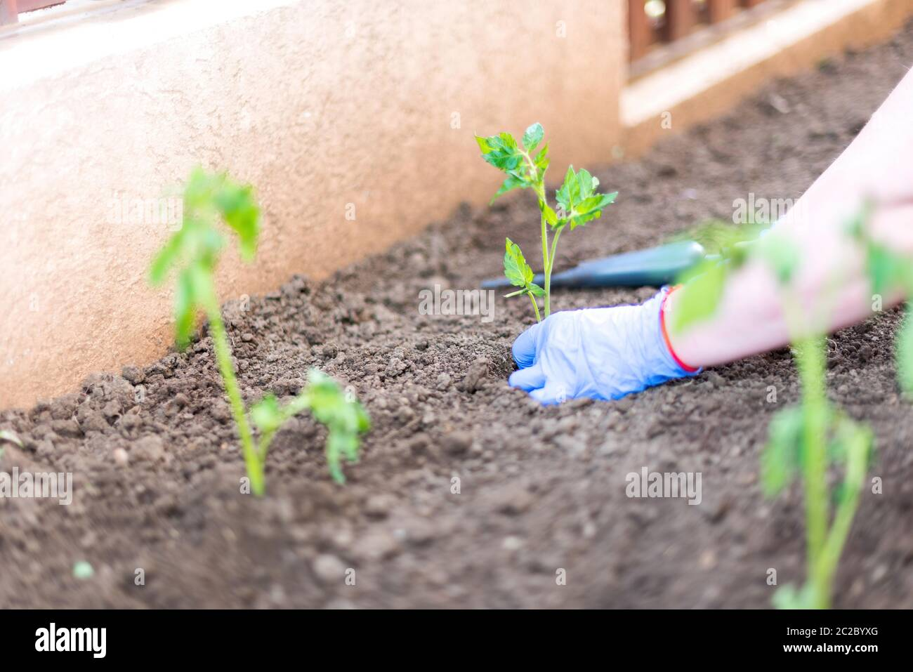 High angle of crop person in gloves planting green seedling on garden bed with dry loose soil against blurred fence in daytime Stock Photo