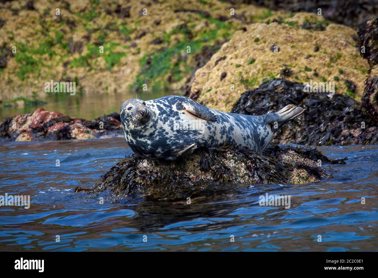 Grey Seal (Halichoerus grypus) a large wild sea life animal mammal resting on a rock in Tenby Wales UK and known as Atlantic seal or horsehead seal Stock Photo