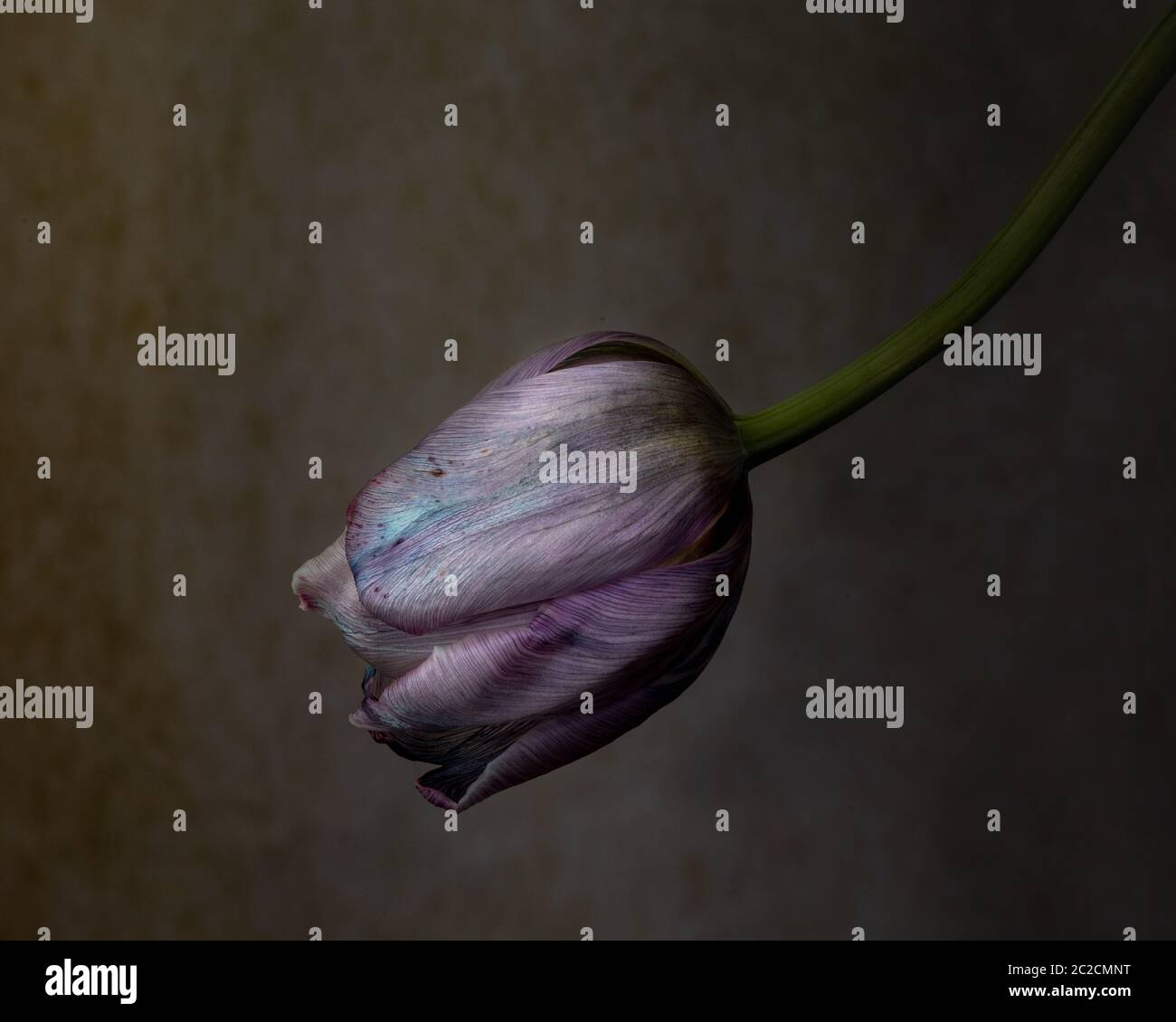 Wilted purple tulip bulb against brown background, signifying aborted young love, against black background. Tulips are a symbol of perfect love Stock Photo