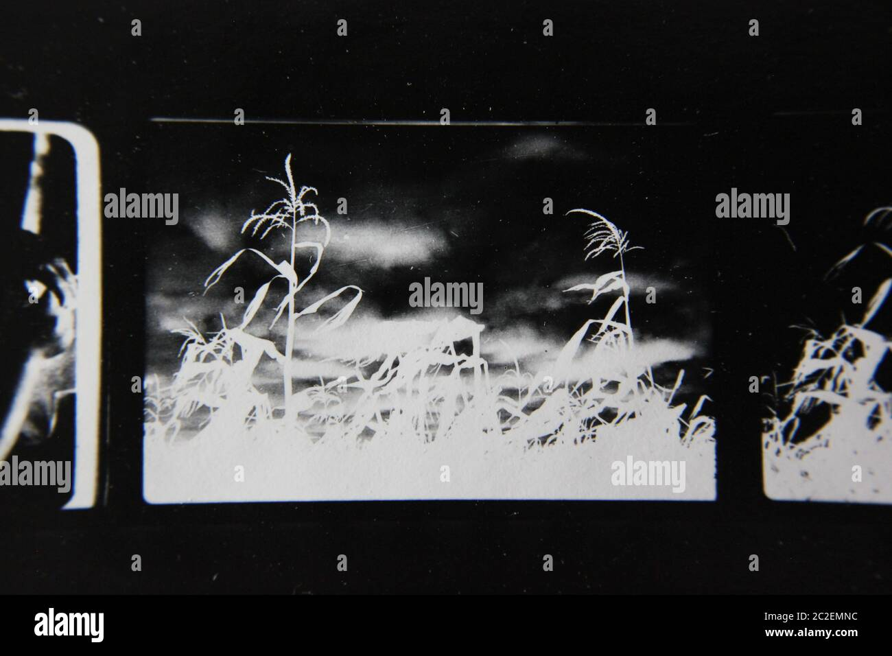 Fine 70s vintage contact print black and white extreme photography of wild plants growing in the fields. Stock Photo