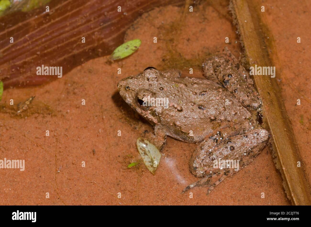 Blanchard's cricket frog, Acris blanchardi Stock Photo