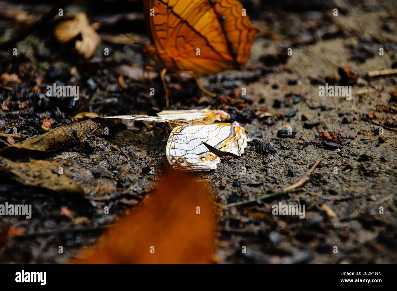 A dead butterfly on the ground showing the concept of balance between life and death in nature Stock Photo