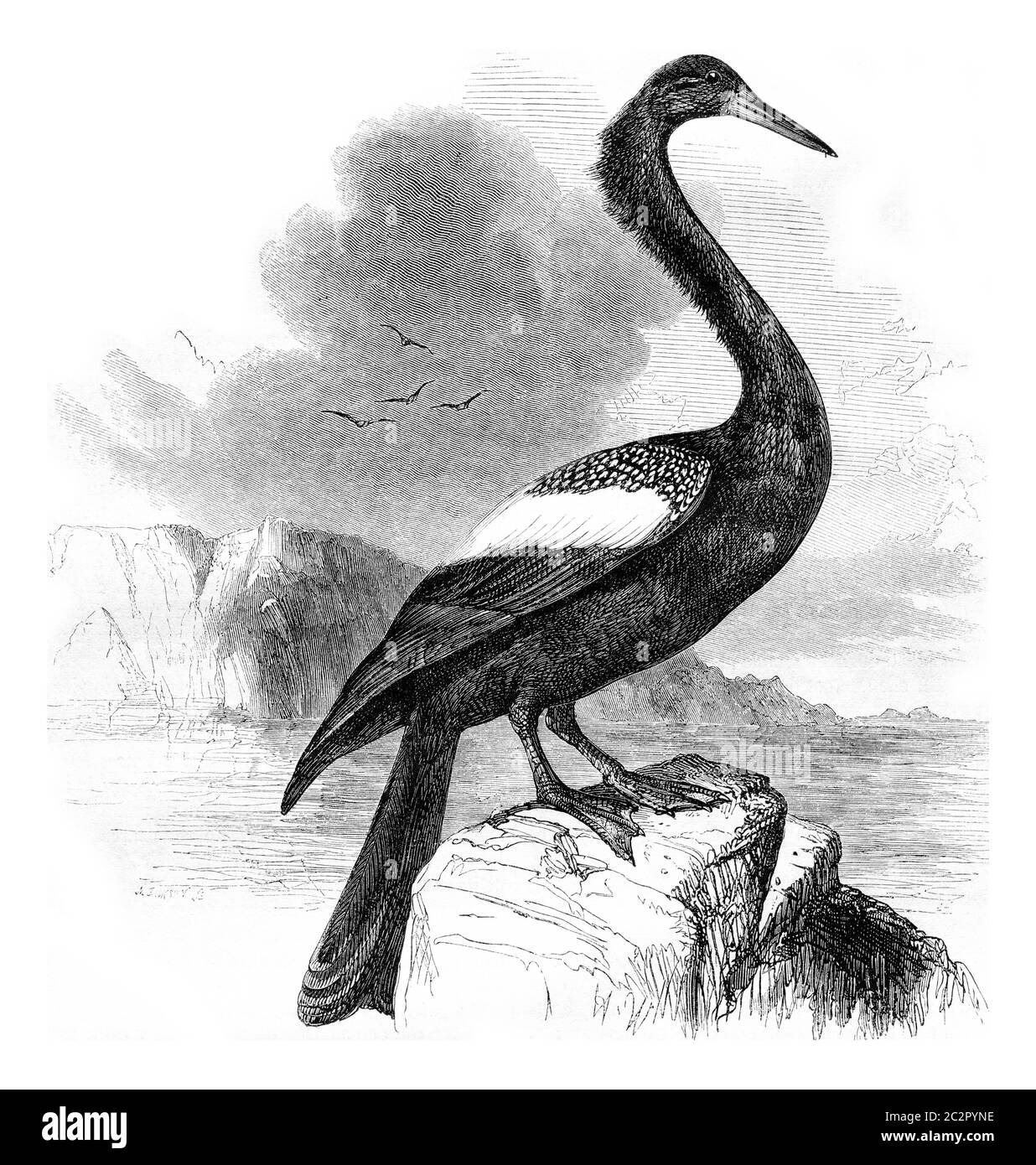 Anhinga, vintage engraved illustration. Magasin Pittoresque 1857. Stock Photo
