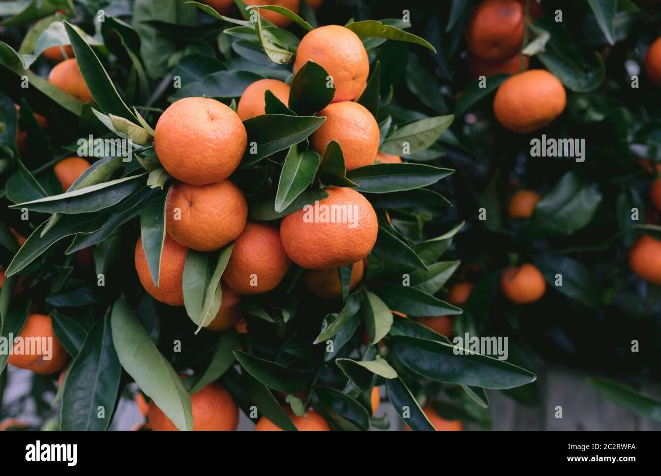Healthy Orange Mandarins on very green tree Stock Photo