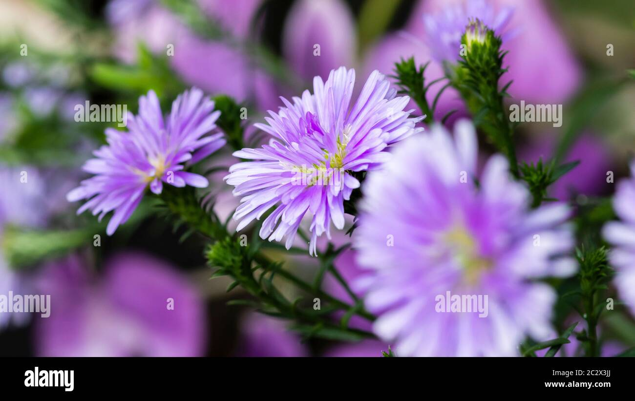 Violet Marigold Flower High Resolution Stock Photography And Images Alamy