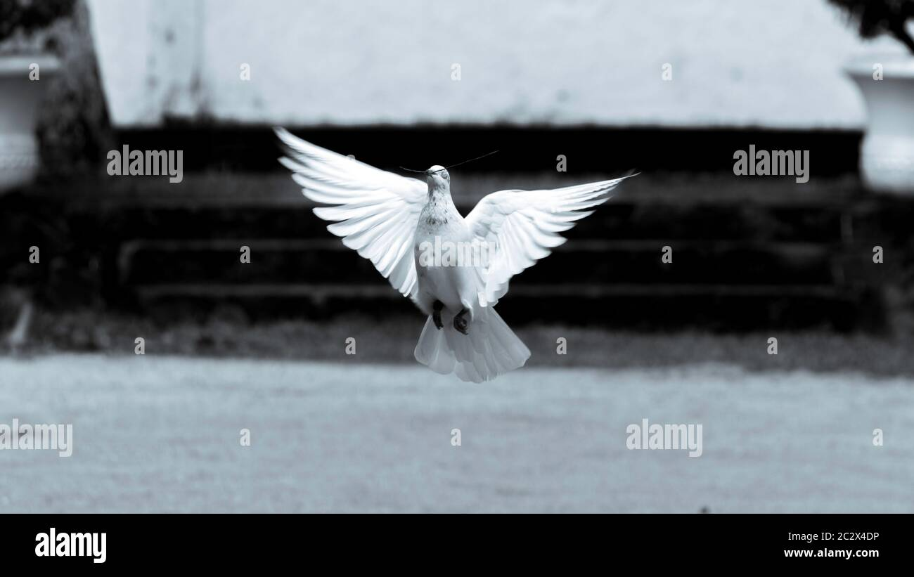 """Black and white photograph of a pigeon """"symbol of hope and peace"""" flying in low altitude Stock Photo"""