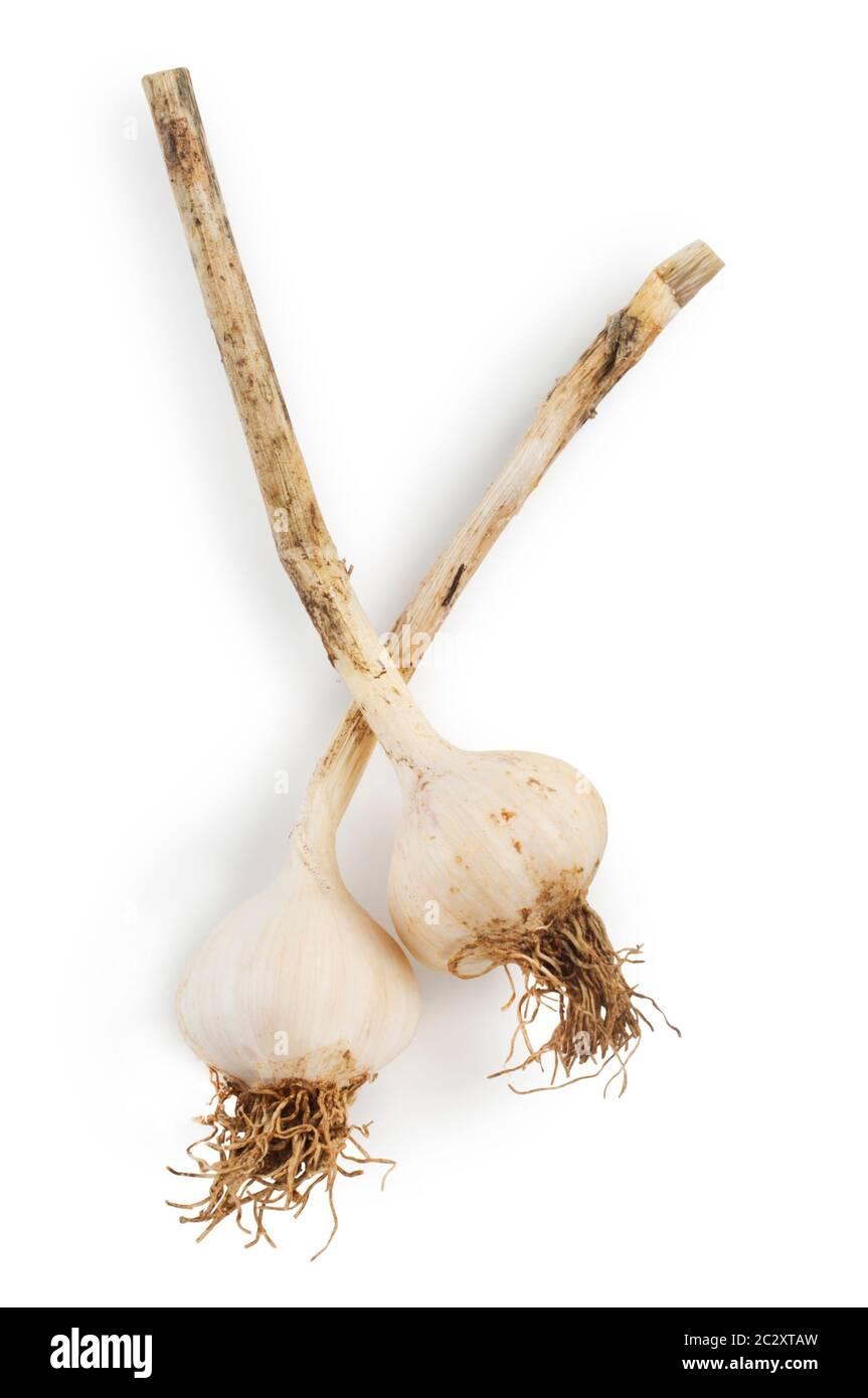Studio shot of fresh garlic cut out against a white background - John Gollop Stock Photo