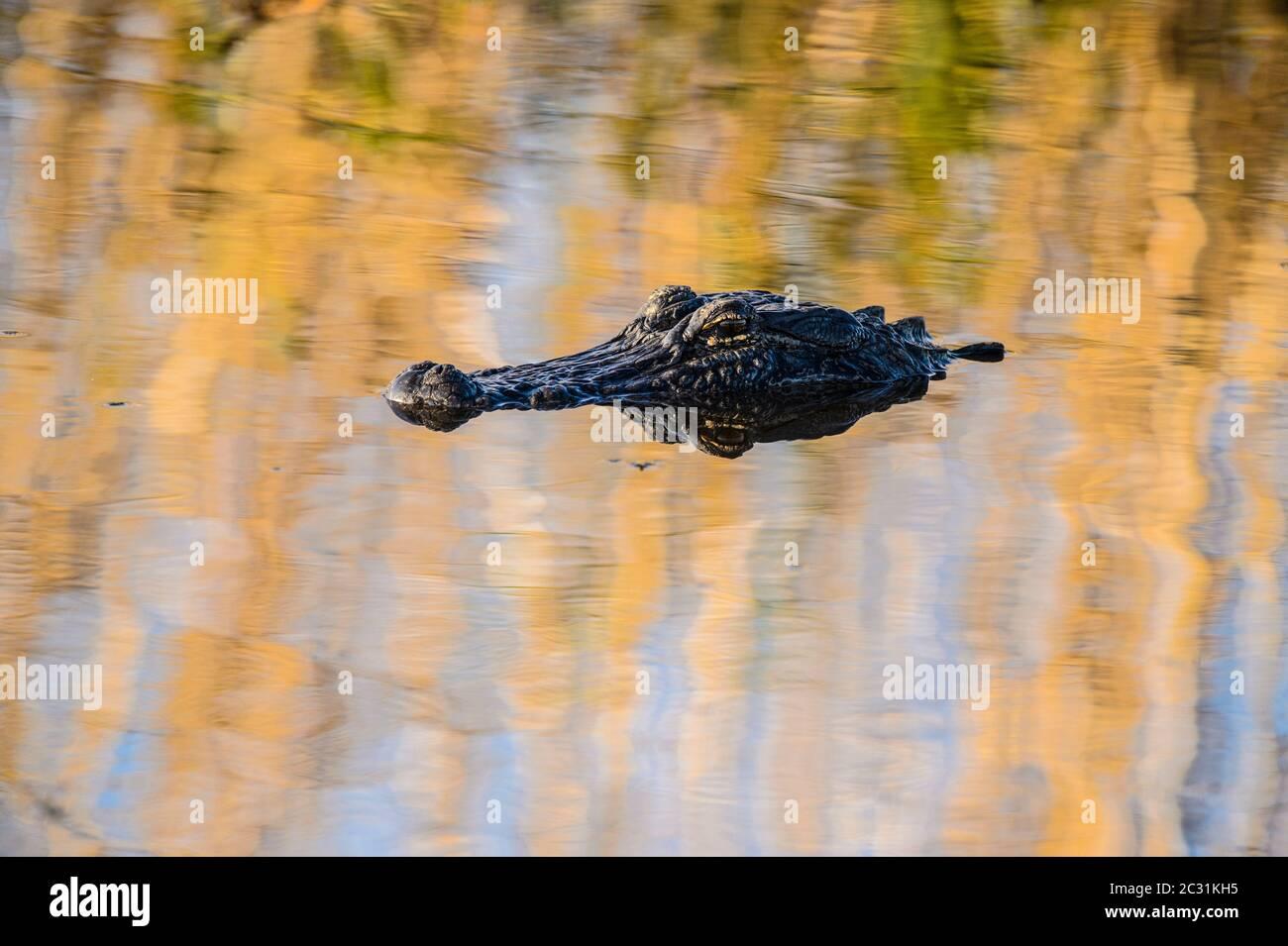 American alligator (Alligator mississipiensis), Anahuac National Wildlife Refuge, Texas, USA Stock Photo