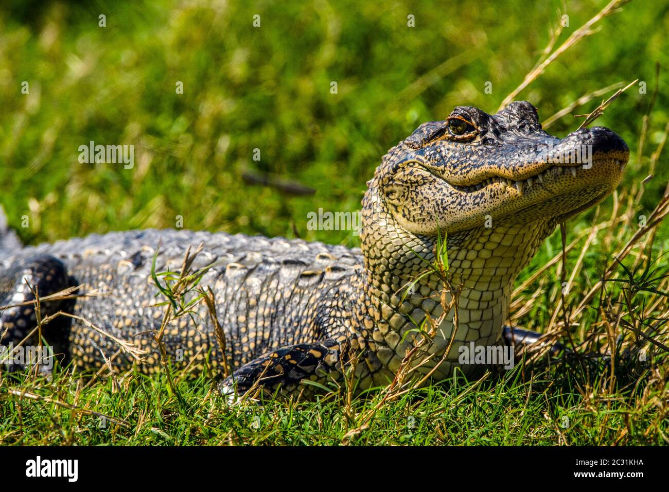 Basking alligator (Alligator mississipiensis), Cameron Prairie National Wildlife Refuge, Louisiana, USA Stock Photo