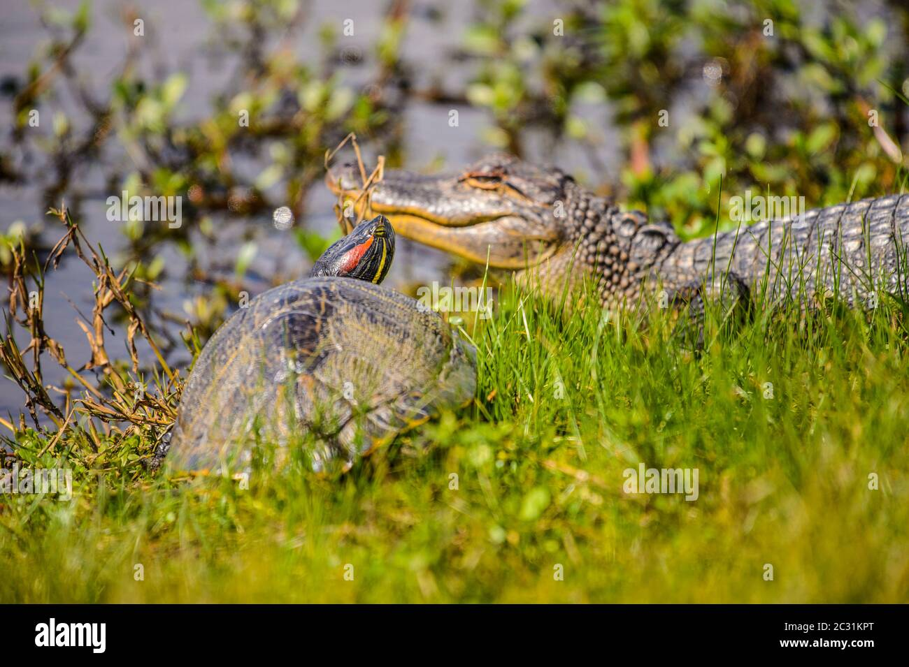 Basking alligator (Alligator mississipiensis) and turtle, Cameron Prairie National Wildlife Refuge, Louisiana, USA Stock Photo