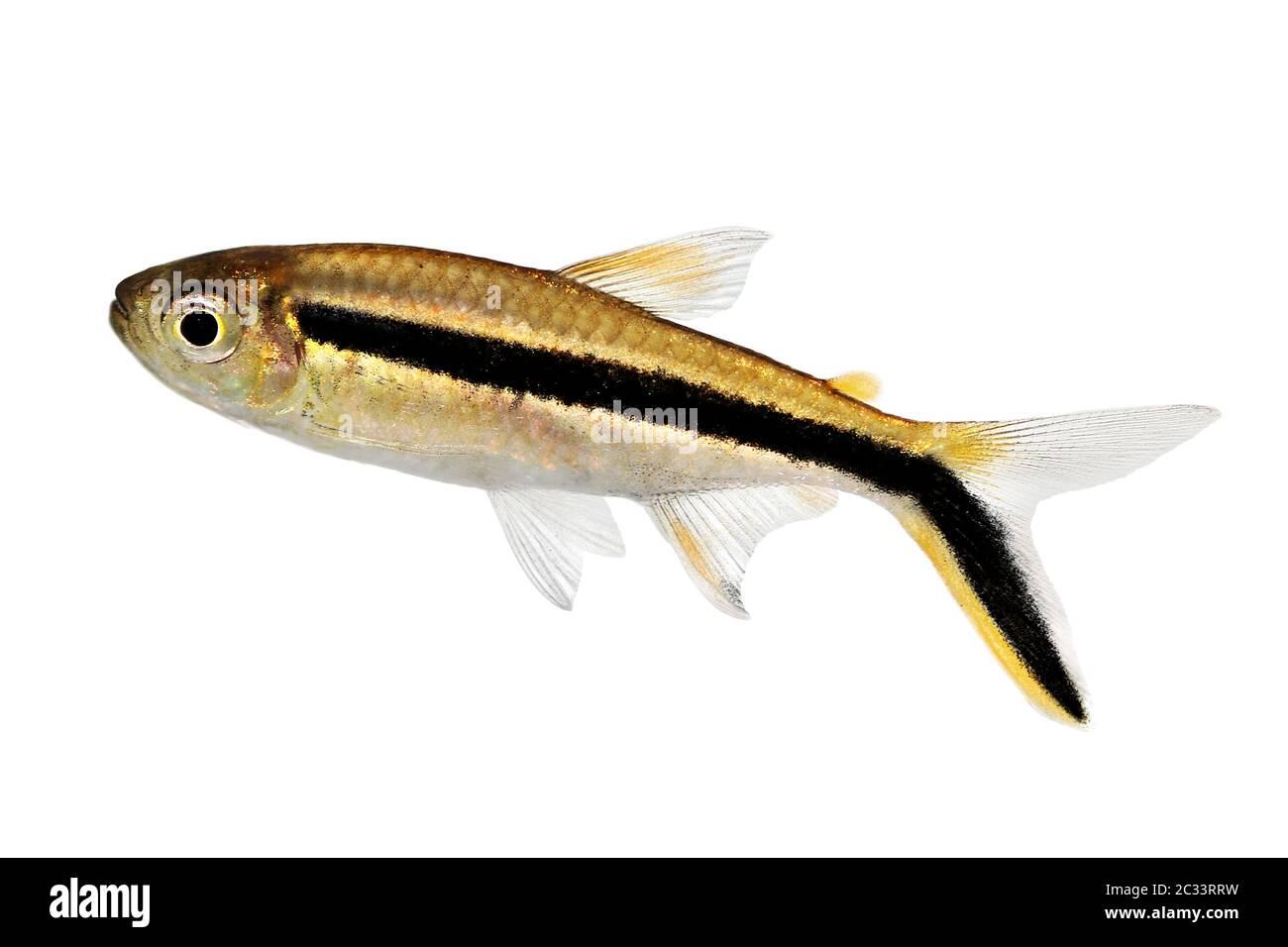 Penguin Tetra Thayeria Boehlkei Blackline Penguinfish Aquarium Fish Stock Photo Alamy