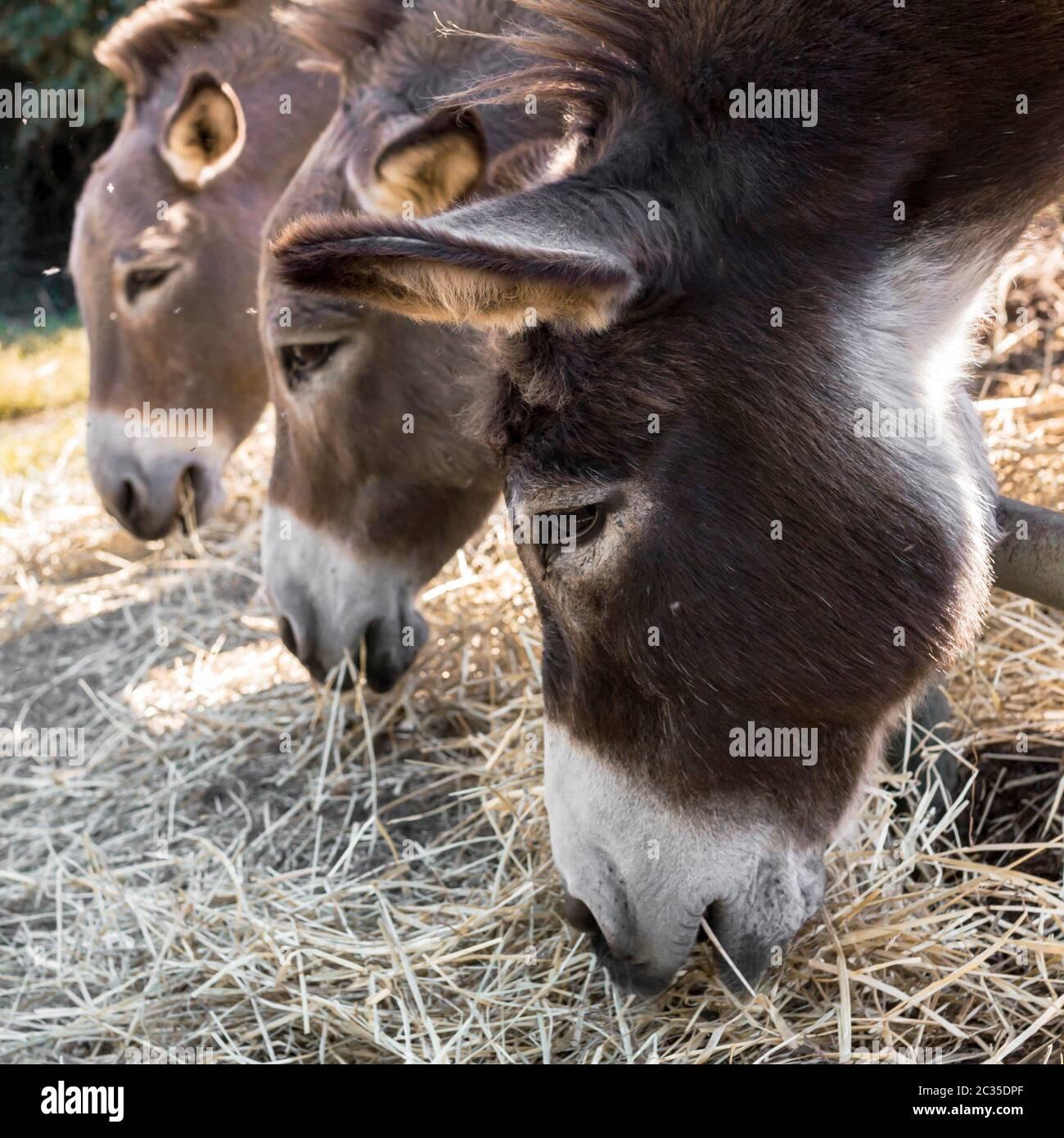 Donkeys eating hay Stock Photo