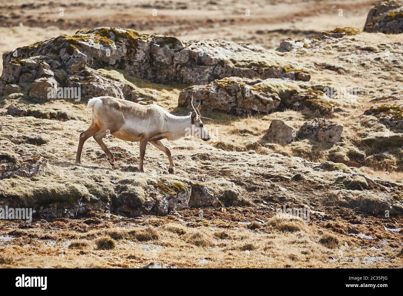 Reindeer in Eastern Iceland, walking the rocky landscape Stock Photo