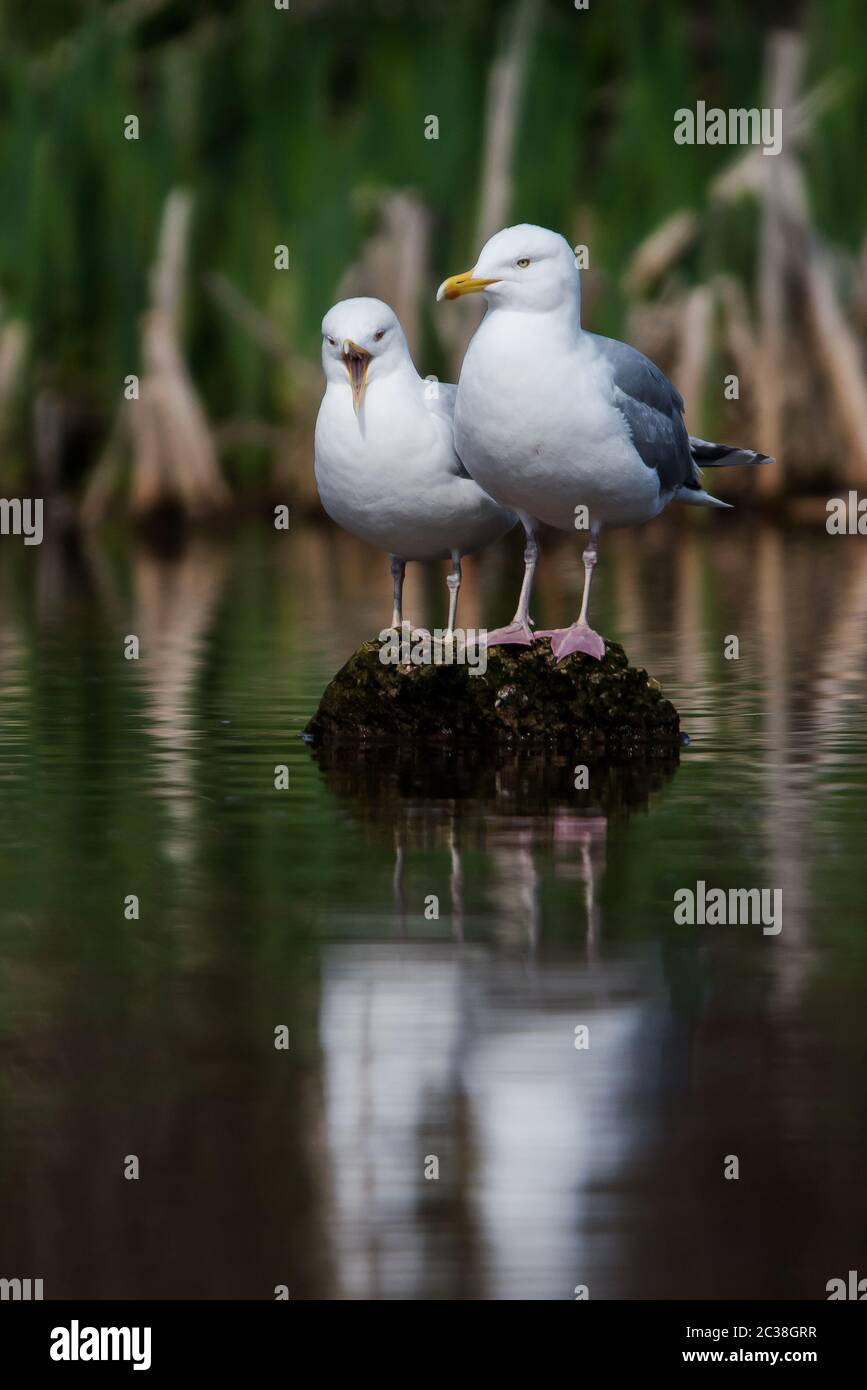 Pair of Herring Gull on a water. Her Latin name are Larus argentatus. Stock Photo