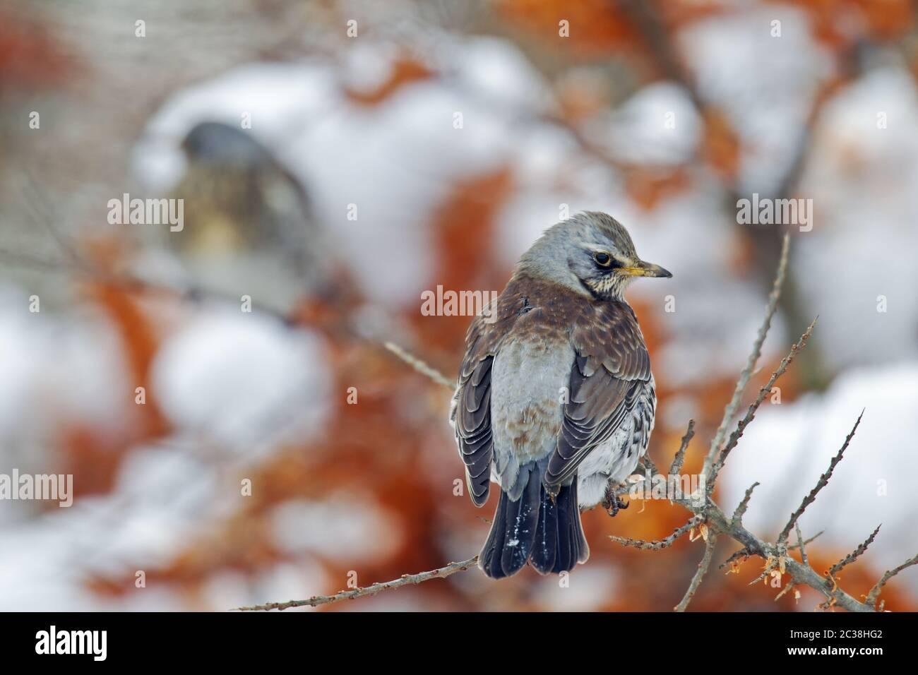 Fieldfare in a Sea Buckthorn in winter Stock Photo
