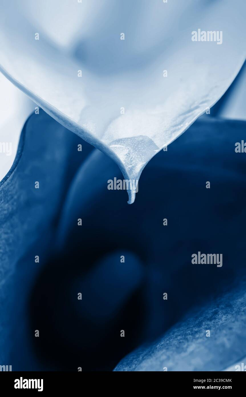 Macro of two calla flowers. Shallow depth of field. Focus on the flower with water drop. In trendy classic blue colors Stock Photo
