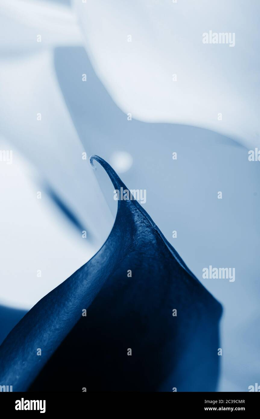 Macro shot of two callas, beautiful lines. Shallow depth of field. In trendy classic blue colors Stock Photo