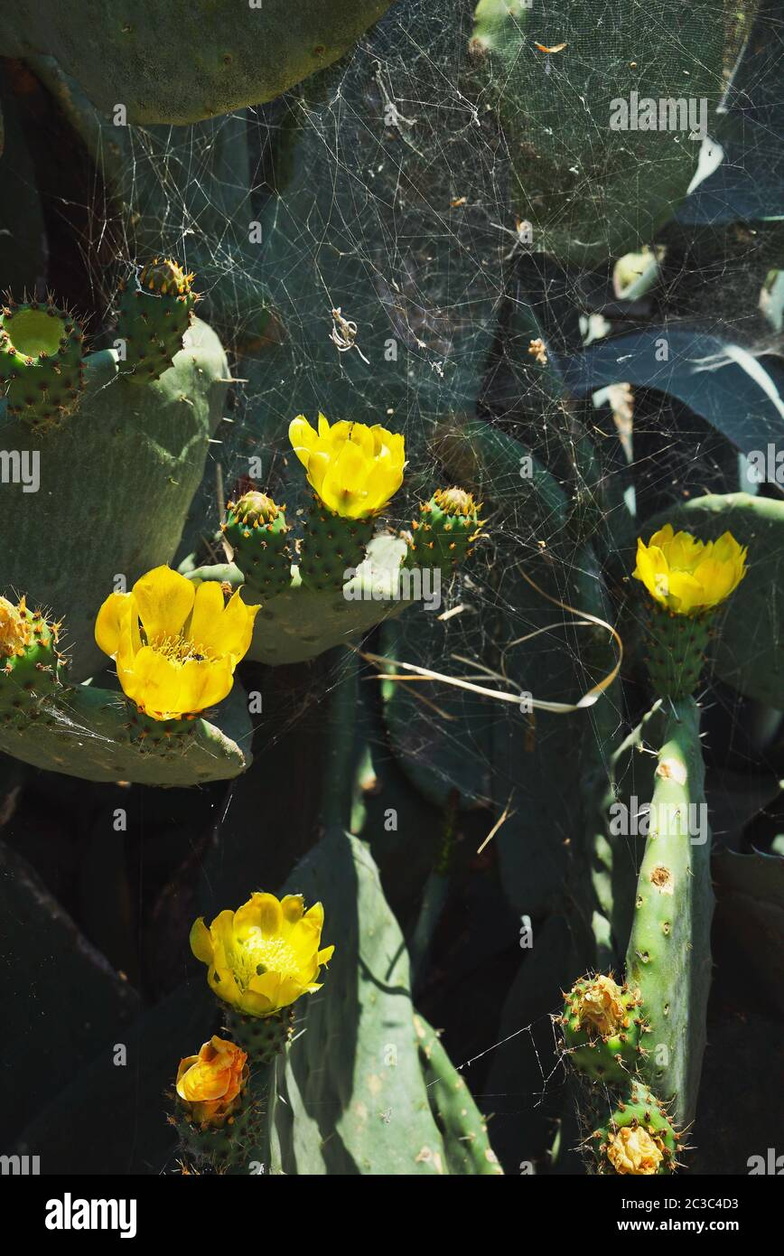 Yellow flowers cactus and spider web on them. Close up. Hot sunny day. Contrast light. A vertical image. Stock Photo