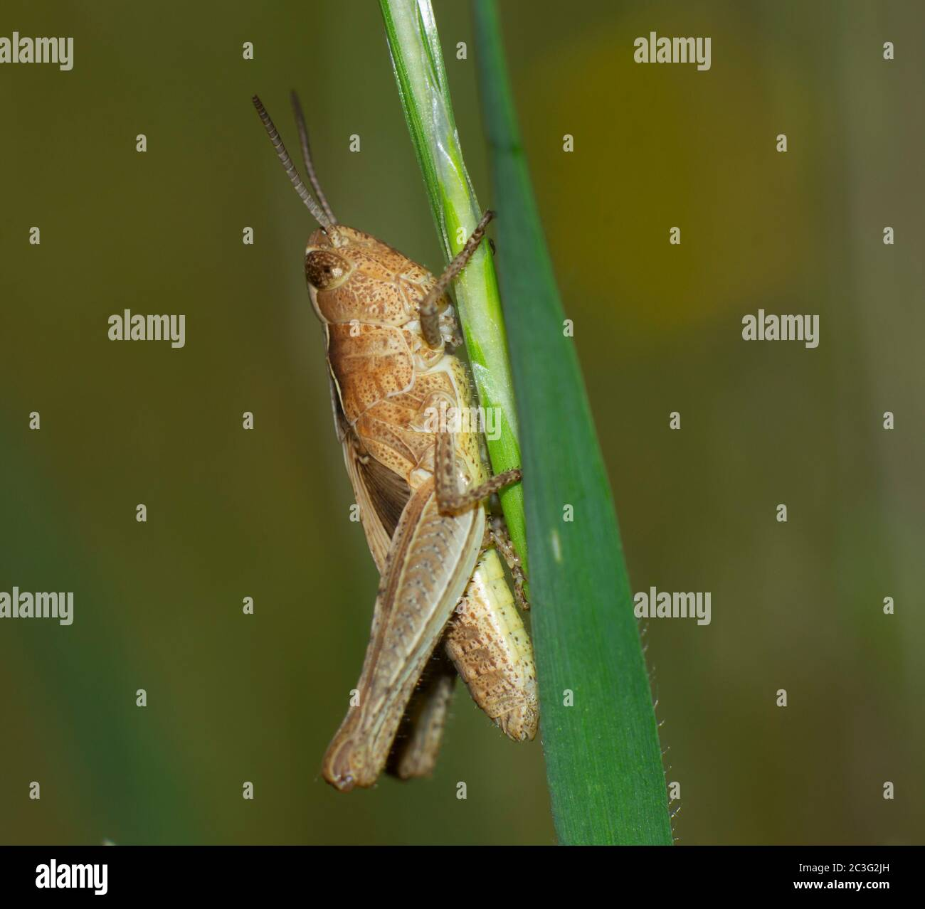 closeup of brown cricket insect climbing a blade of grass Stock Photo