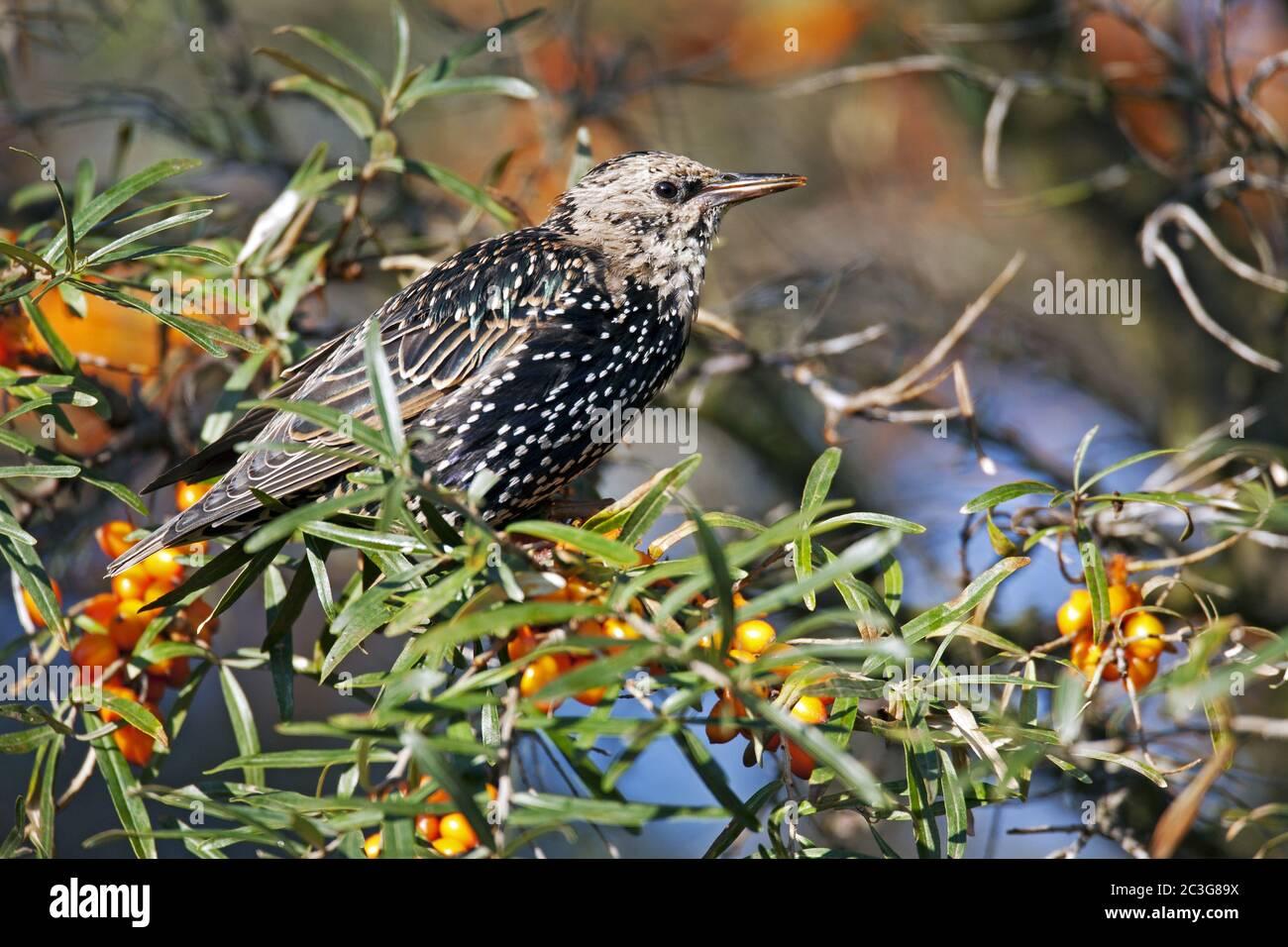 Starling juvenile bird / Sturnus vulgaris Stock Photo